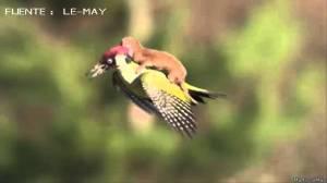 El vuelo de una comadreja a lomos de un pájaro